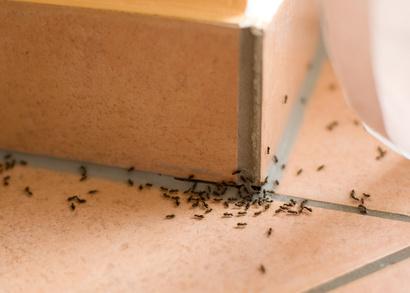 Ameisenbekaempfen